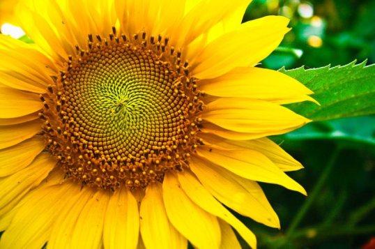 biji-bunga-matahari